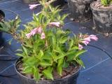 Вейгела гибридная (Weigela florida)